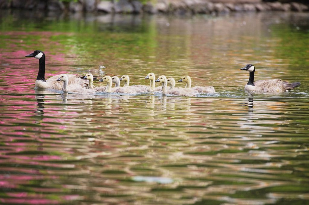 Canadian geese and gosslings : Stock Photo