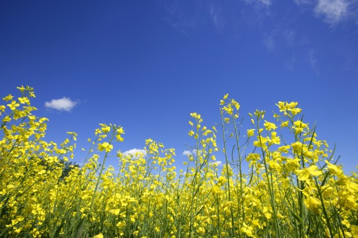 A close-up of canola plants : Stock Photo