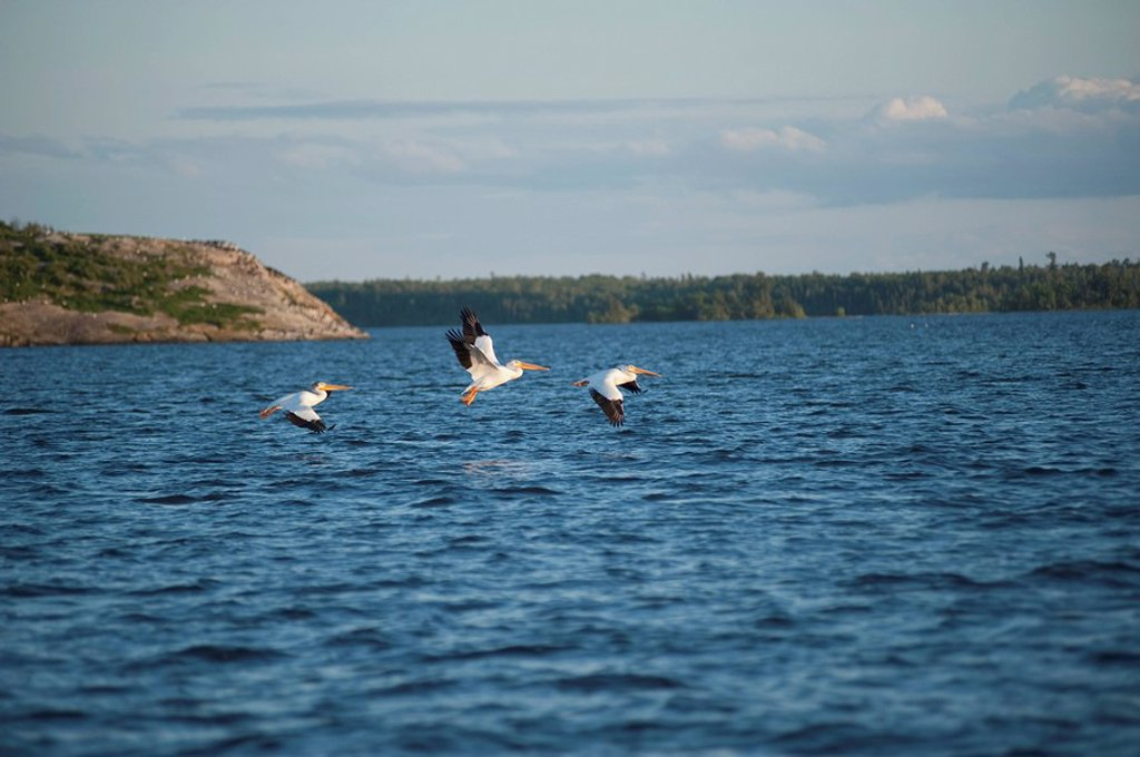Seagulls flying near the water, Lake of the Woods, Ontario, Canada : Stock Photo