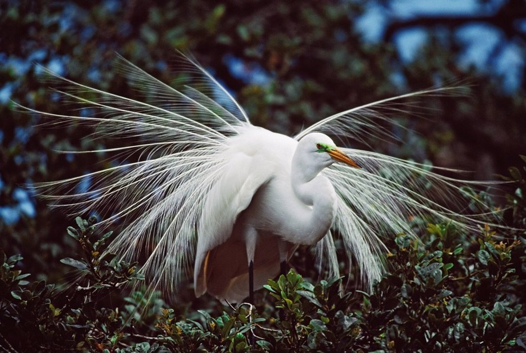 Stock Photo: 1889R-48559 Great egret Ardea alba adult displaying breeding plumage