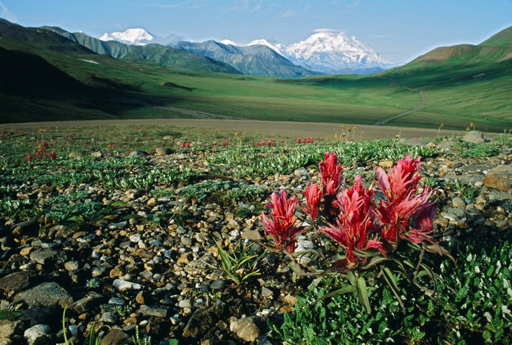 Tundra flowers with Mount McKinley in the background : Stock Photo