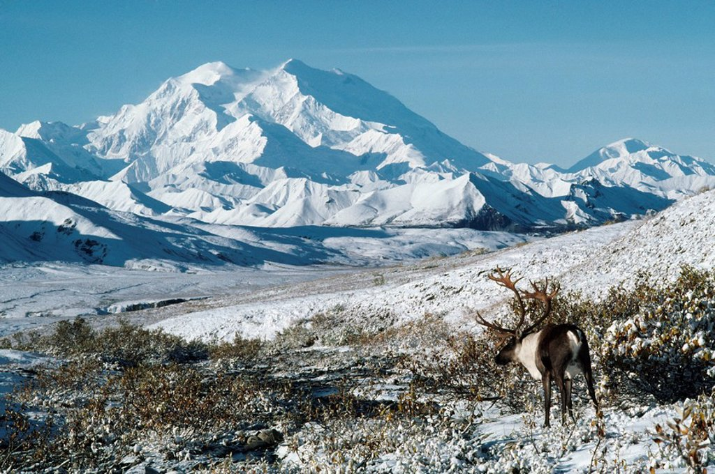 Caribou Rangifer tarandus, Mount McKinley, Denali National Park, Alaska : Stock Photo