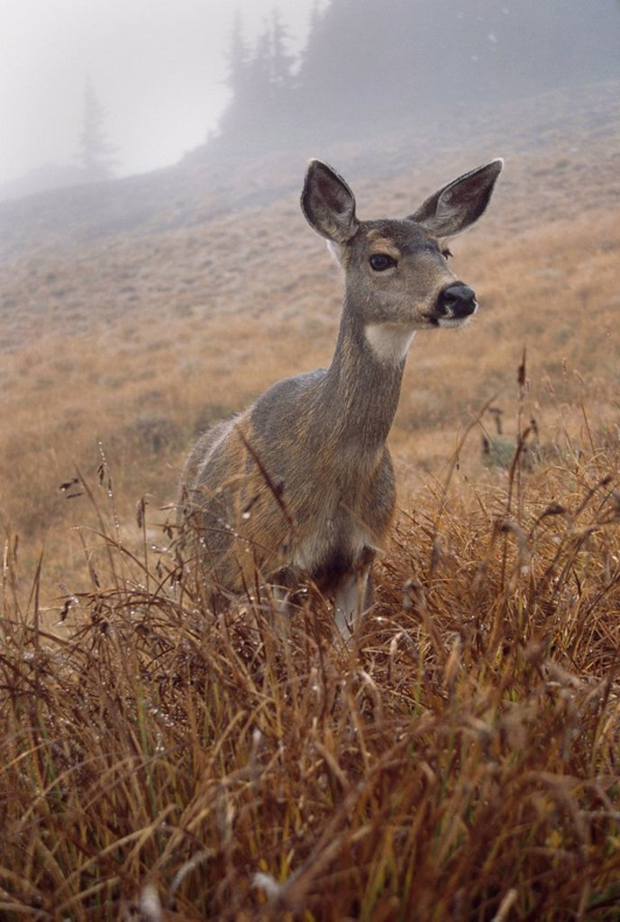 Stock Photo: 1889R-48618 Blacktail deer Odocoileus hemionus columbianus