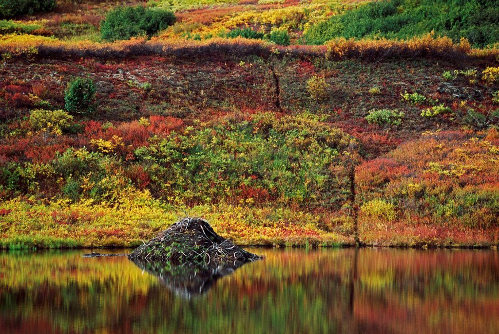 Beaver lodge in pond on subarctic tundra : Stock Photo