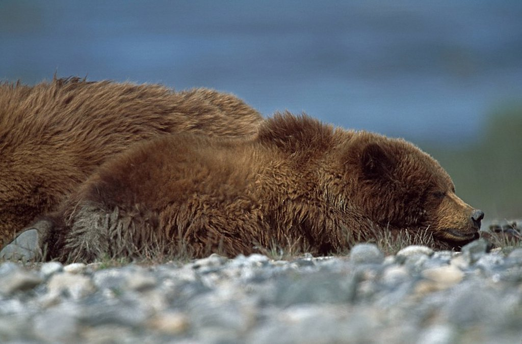 Alaskan brown bear Ursus arctos cub sleeping next to its mother, Alaska : Stock Photo