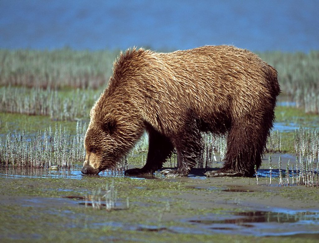 Stock Photo: 1889R-48674 Alaskan brown bear Ursus arctos drinking, Alaska