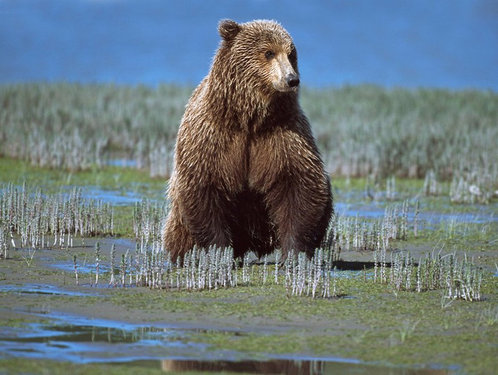 Stock Photo: 1889R-48675 Alaskan brown bear Ursus arctos searching tide plain