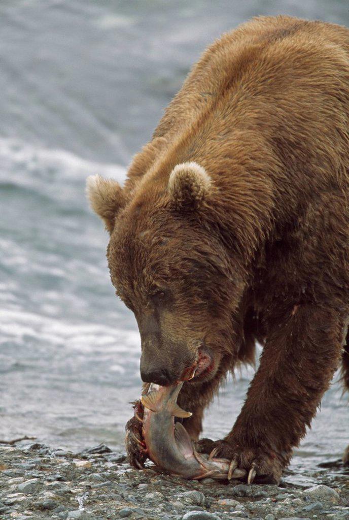 Alaskan brown bear Ursus arctos eating salmon at edge of river : Stock Photo