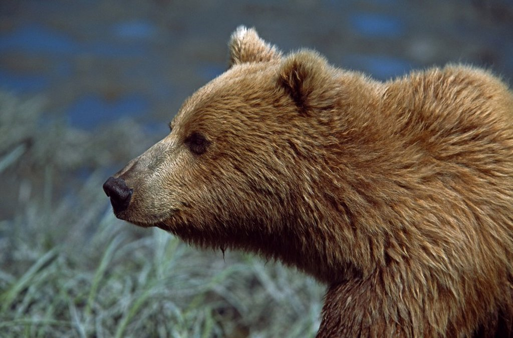 Stock Photo: 1889R-48678 Alaskan brown bear Ursus arctos profile portrait