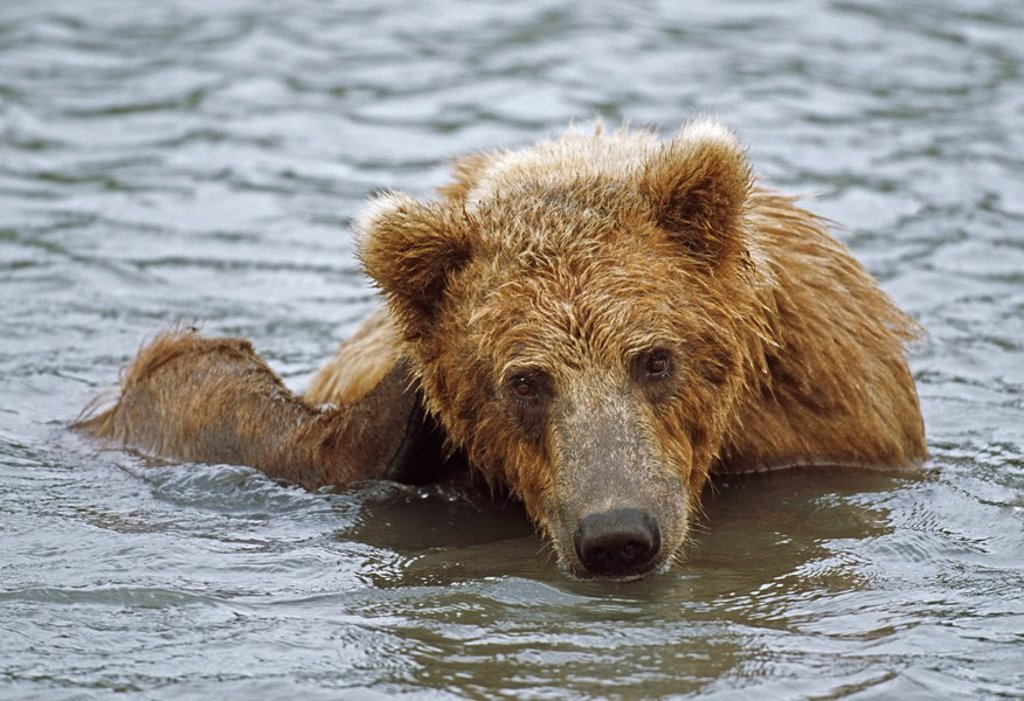 Brown bear, Ursus arctos in water : Stock Photo