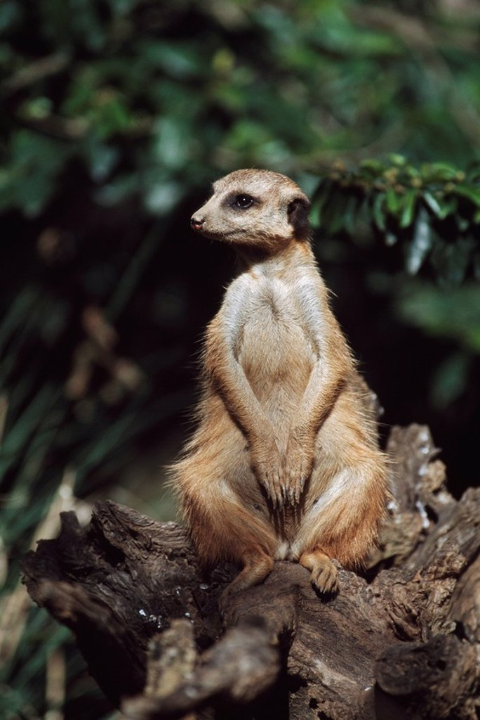 Meerkat sitting on a stump, Africa : Stock Photo
