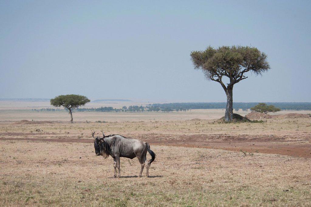 Stock Photo: 1889R-48991 Wildebeest