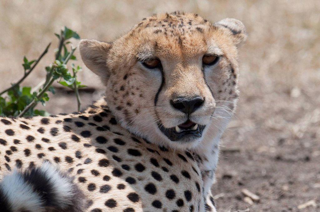 Stock Photo: 1889R-49009 Cheetah