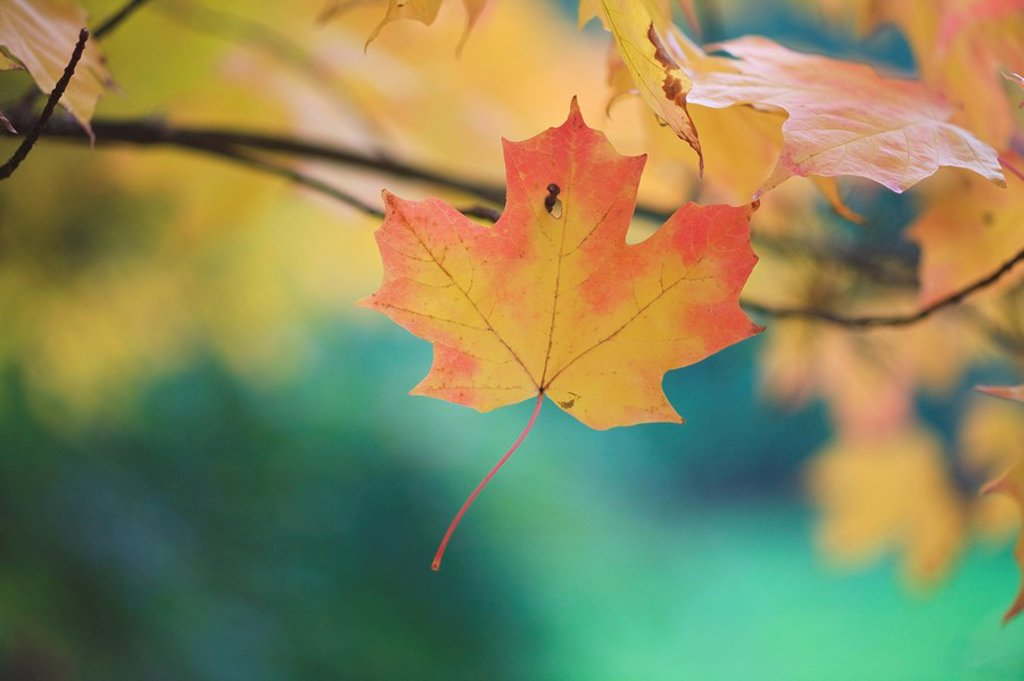 Stock Photo: 1889R-49709 Autumn leaves
