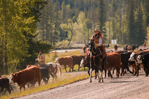 Ranchers herding cattle : Stock Photo