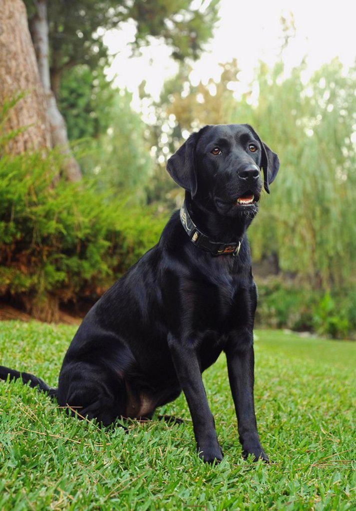 black labrador retriever : Stock Photo