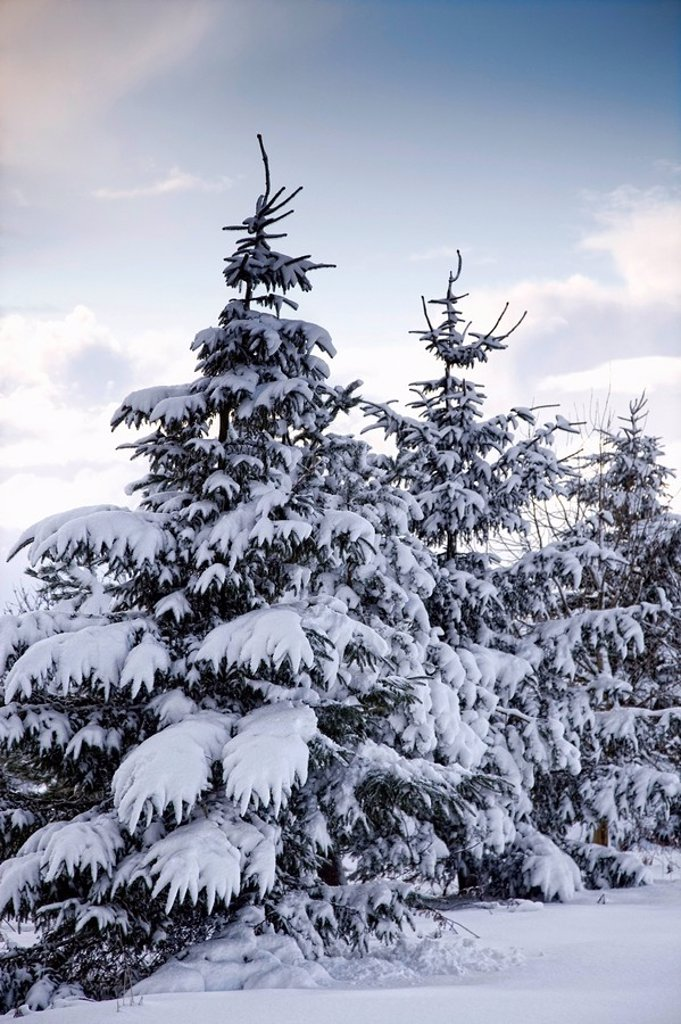 Stock Photo: 1889R-51899 northumberland, england, snow_covered trees