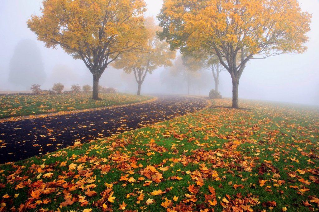 portland, oregon, united states of america, trees in a park in the fog in autumn : Stock Photo