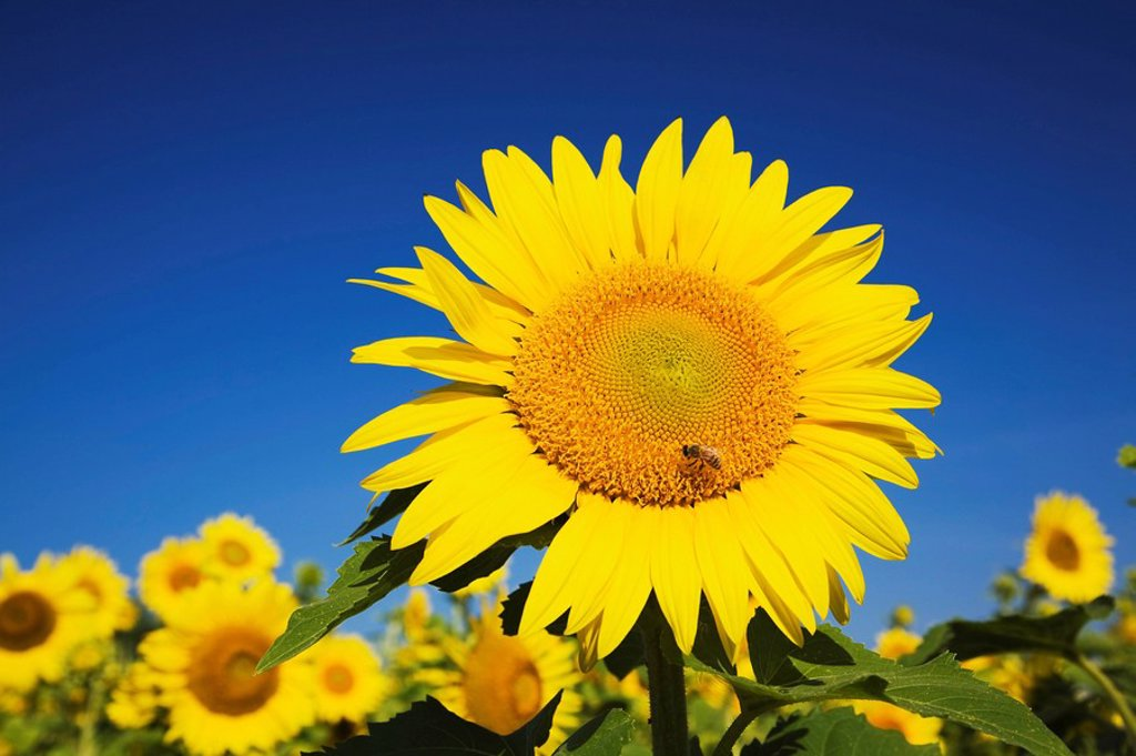 laval, quebec, canada, a sunflower with a honeybee foraging for nectar : Stock Photo
