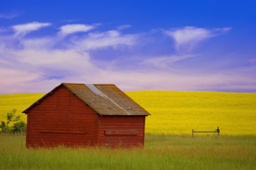 A red farm building against a canola field : Stock Photo