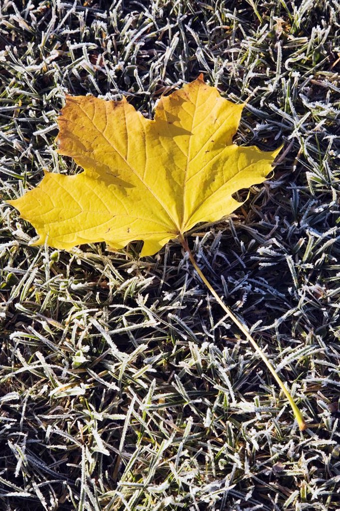 lanaudiere, quebec, canada, yellow maple leaf on frost covered grass in early autumn : Stock Photo