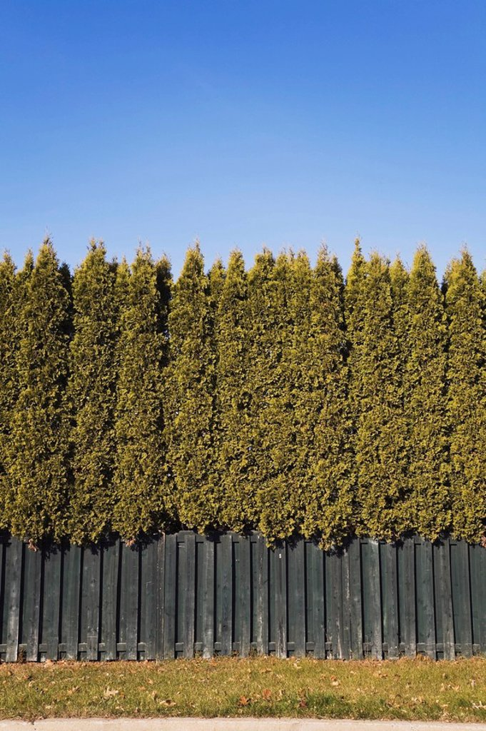 lanaudiere, quebec, canada, backyard wooden fence and cedar hedge : Stock Photo