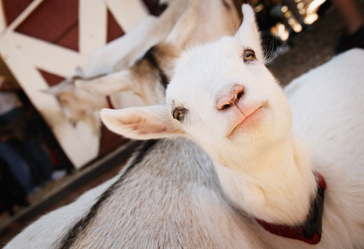 A baby goat : Stock Photo