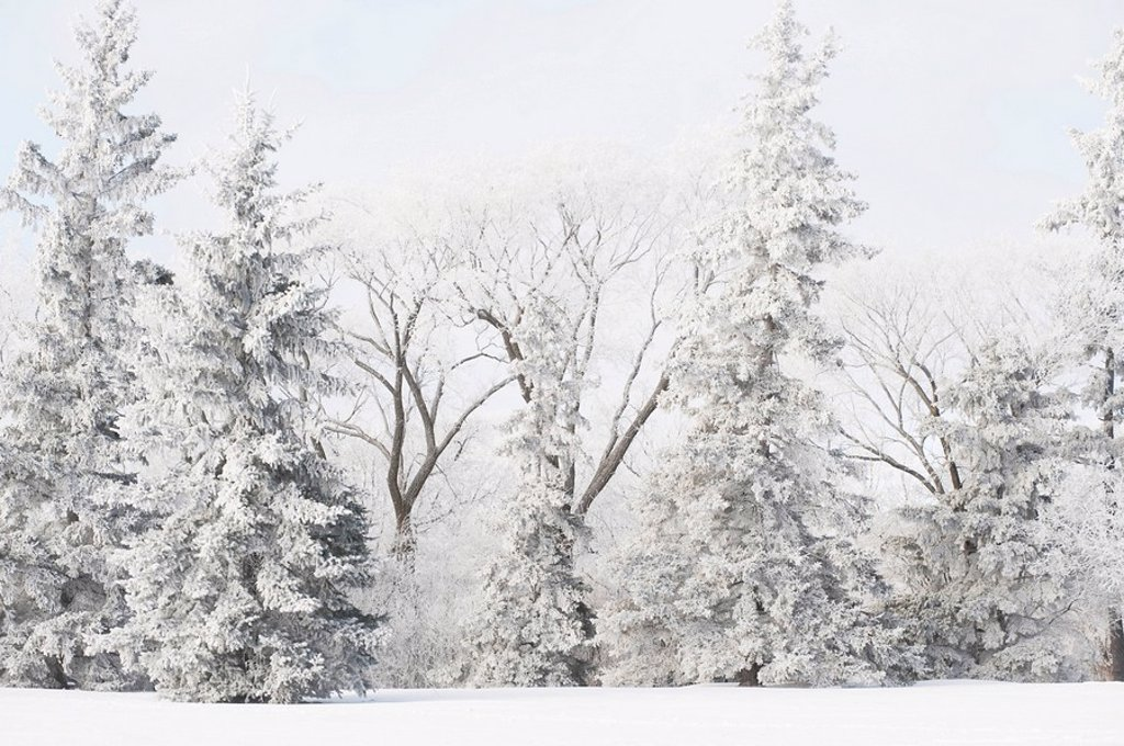 winnipeg, manitoba, canada, snow covered trees : Stock Photo