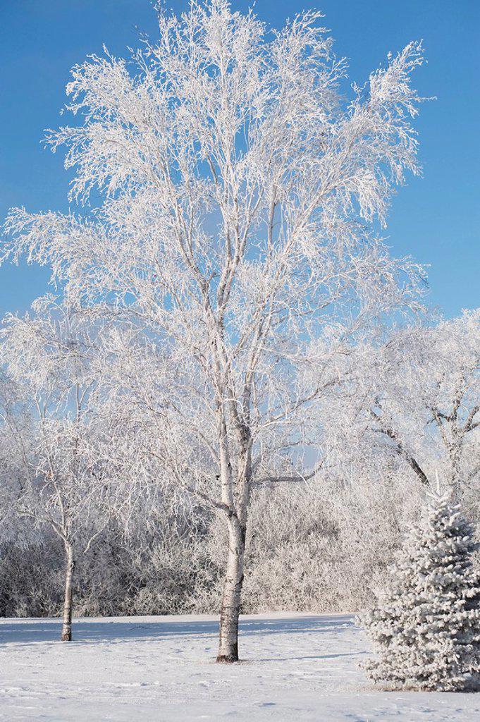 winnipeg, manitoba, canada, trees covered in snow : Stock Photo