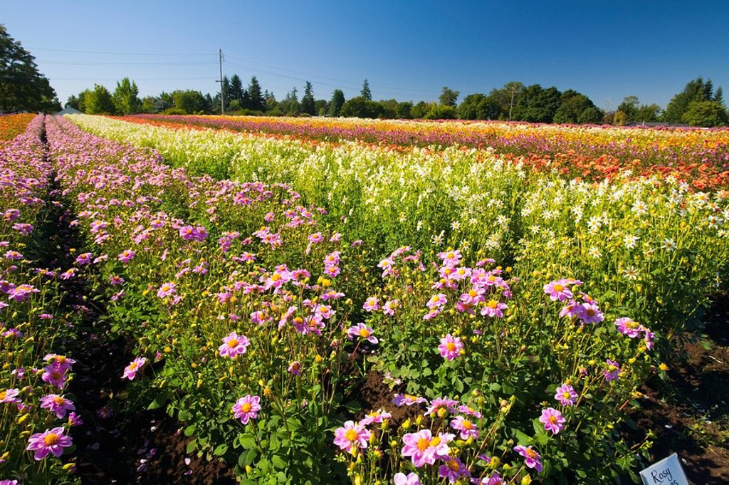 Stock Photo: 1889R-54269 willamette valley, oregon, united states of america, a field with rows of various dahlias
