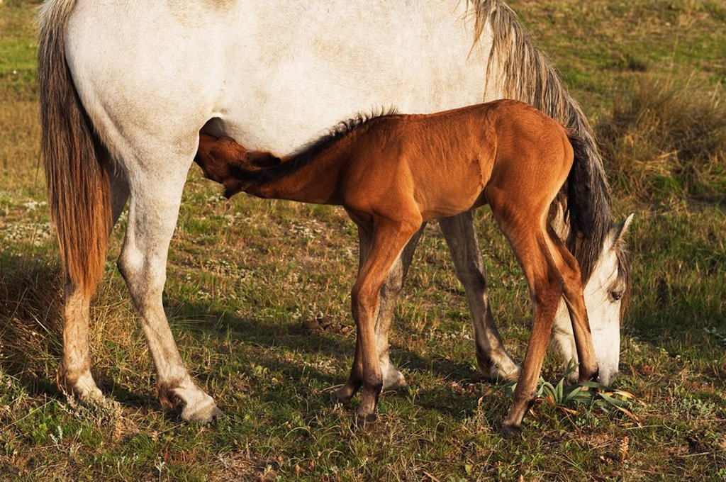 tarifa, cadiz, andalusia, spain, a foal drinks milk from it´s mother : Stock Photo