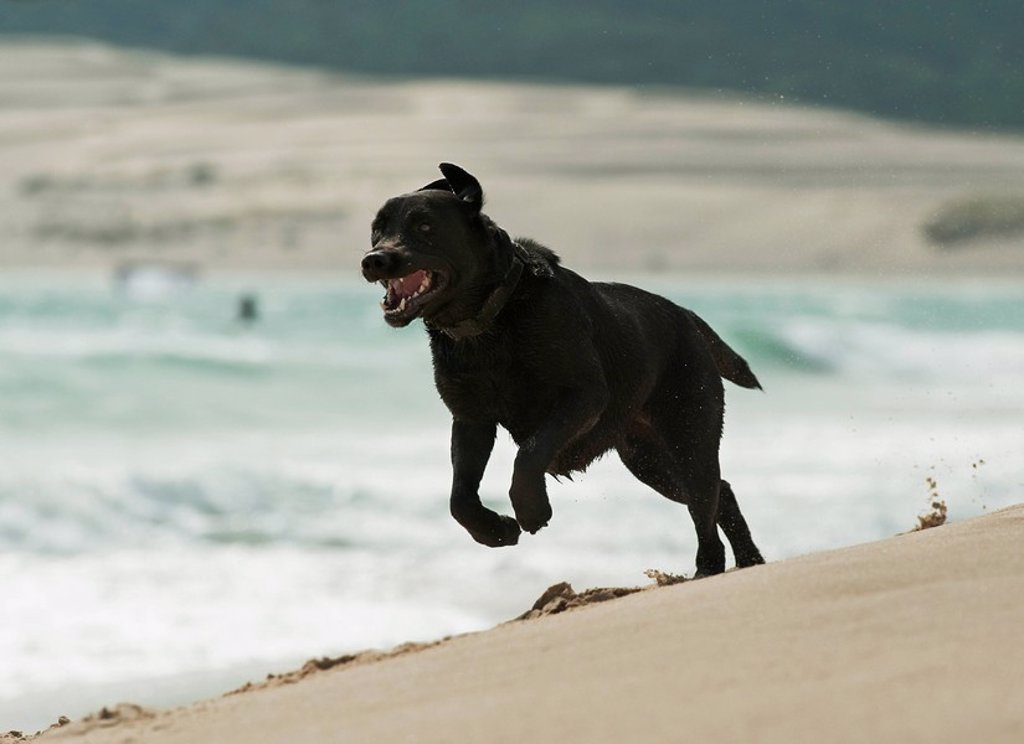 tarifa, cadiz, andalusia, spain, a dog running on punta paloma beach : Stock Photo