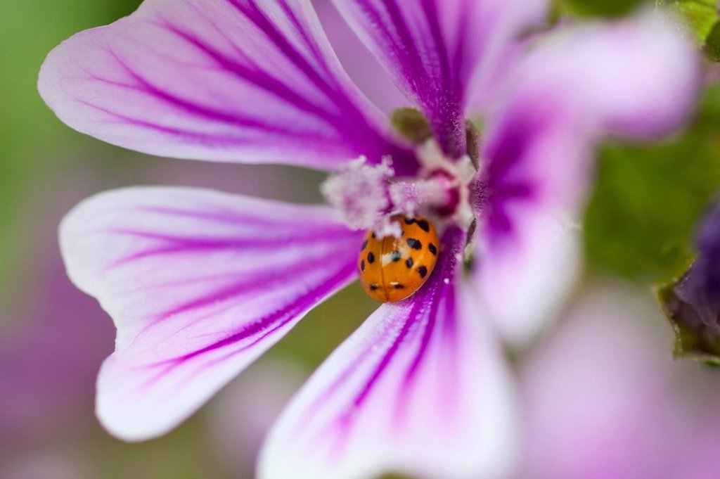 ladybug on a wildflower in columbia river gorge national scenic area, oregon, united states of america : Stock Photo