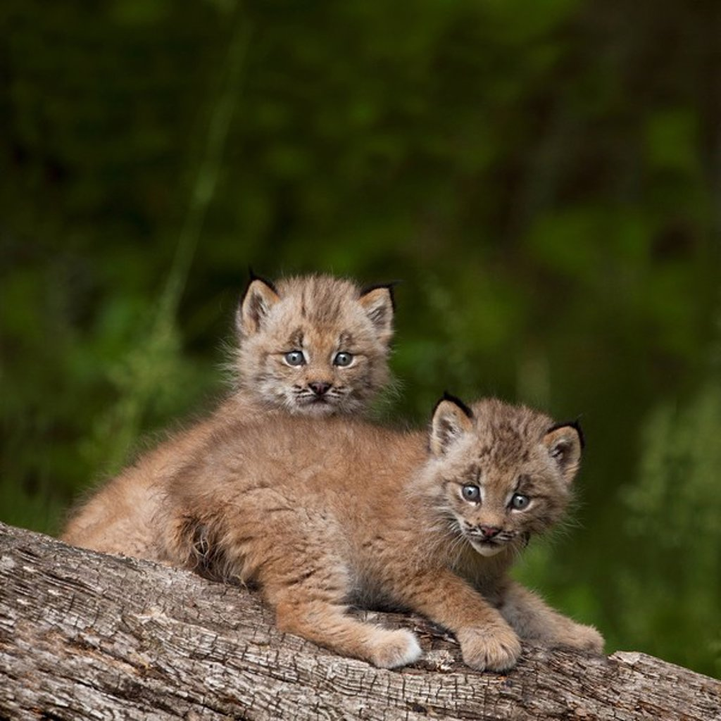 two canada lynx lynx canadensis kittens playing on a log, canmore, alberta, canada : Stock Photo