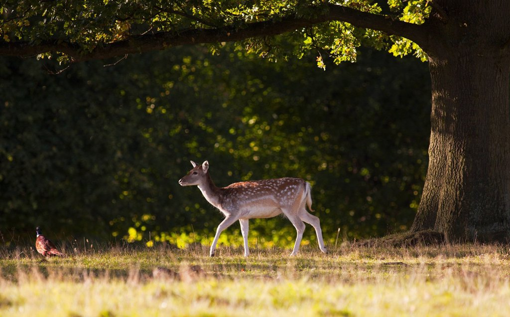 Stock Photo: 1889R-57510 a deer cervidae walking across the grass, north yorkshire, england