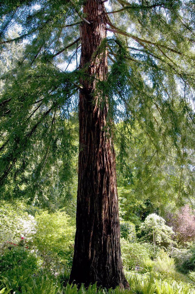 a giant sequoia redwood tree, victoria, british columbia, canada : Stock Photo