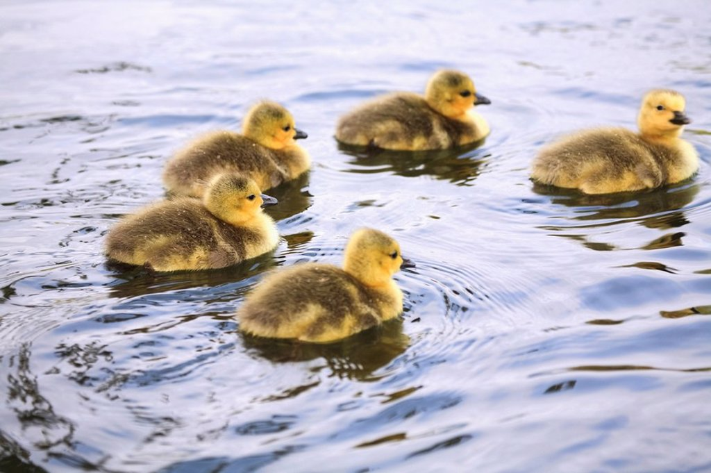 Five Goslings In The Water : Stock Photo