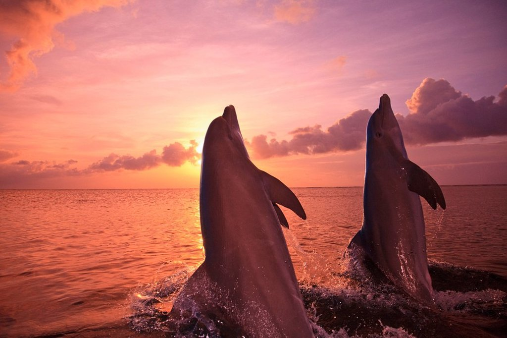 Stock Photo: 1889R-60333 Roatan, Bay Islands, Honduras, Two Bottlenose Dolphins Tursiops Truncatus Jumping Out Of The Water At Anthony´s Key Resort At Sunset
