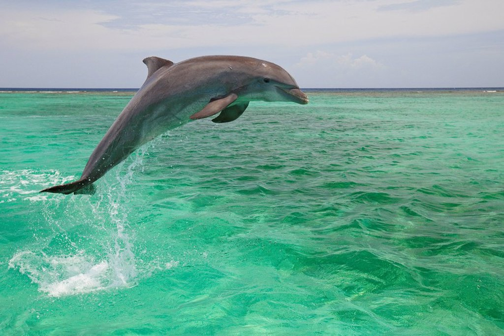Roatan, Bay Islands, Honduras, A Bottlenose Dolphin Tursiops Truncatus Jumping Out Of The Water At Anthony´s Key Resort : Stock Photo