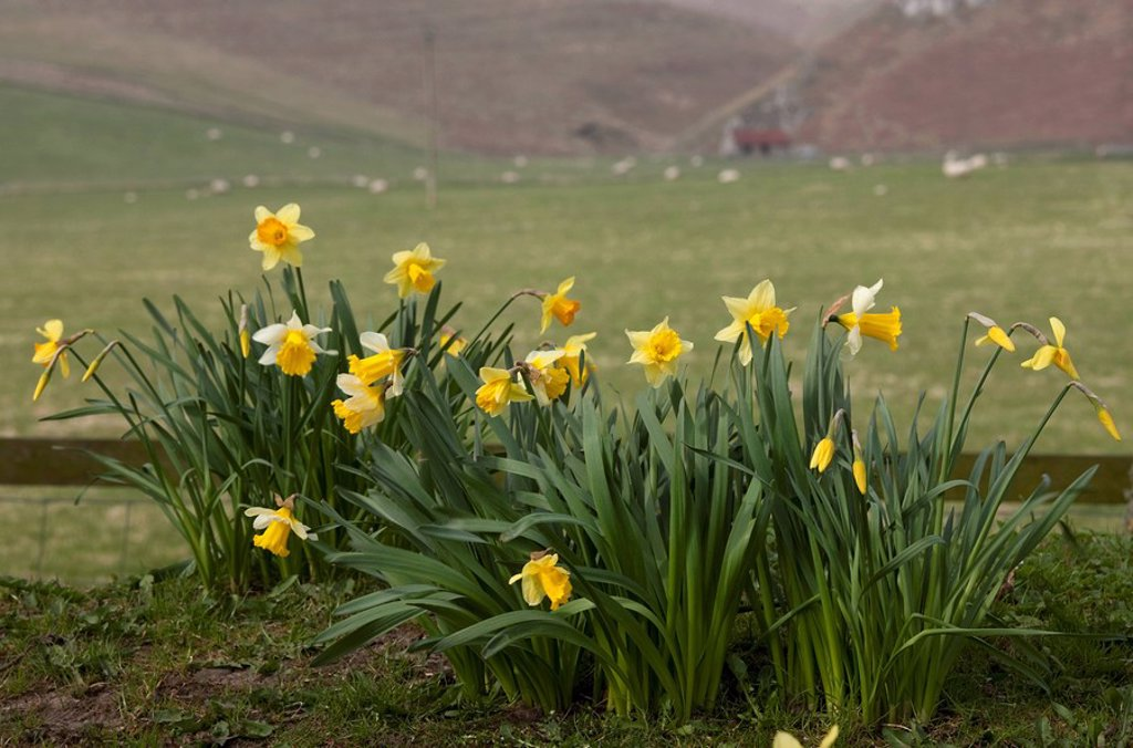 Alwinton, Northumberland, England, Daffodils Growing Beside A Pasture With Sheep Grazing : Stock Photo