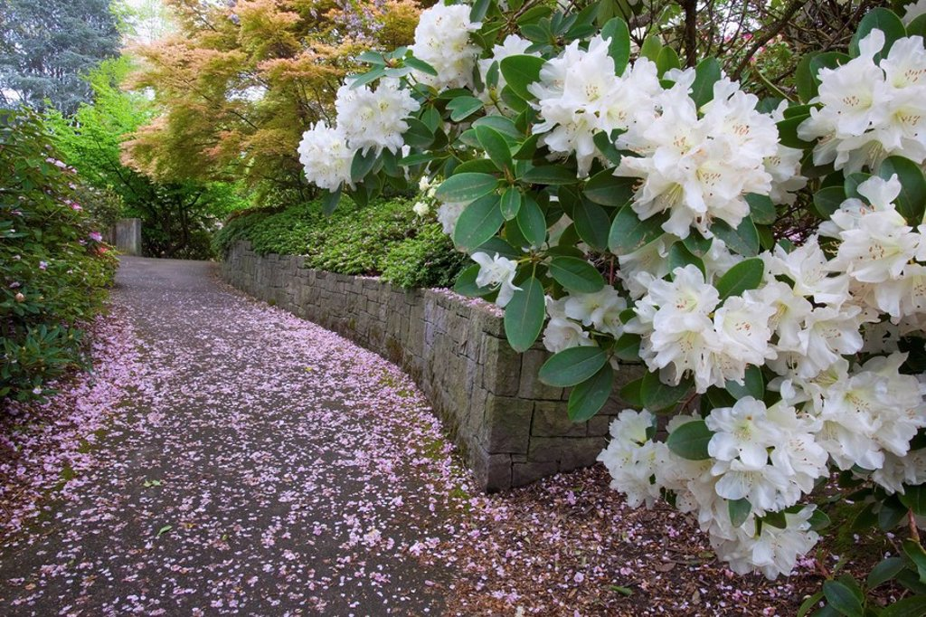 Portland, Oregon, United States Of America, Spring Flowers Along A Path In Crystal Springs Rhododendron Gardens : Stock Photo