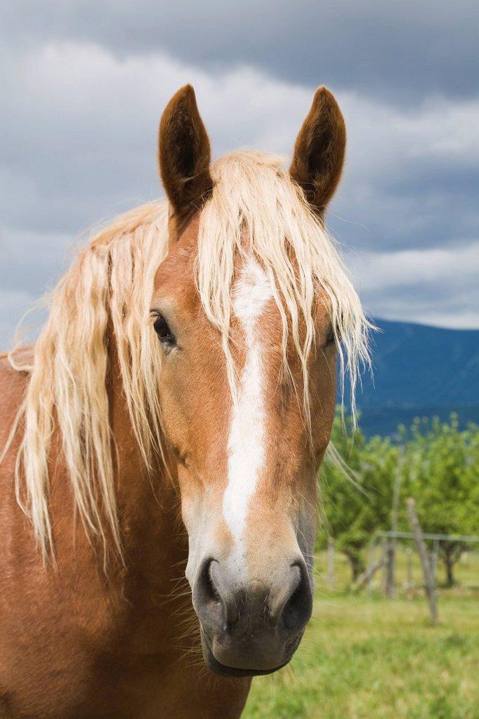 Stock Photo: 1889R-61119 Light Brown Horse, Ile D´orleans, Quebec, Canada