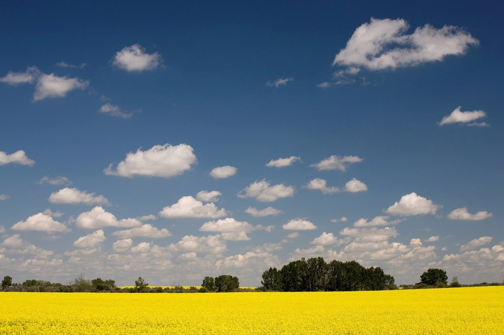 Flowering Canola Field, Alberta, Canada : Stock Photo