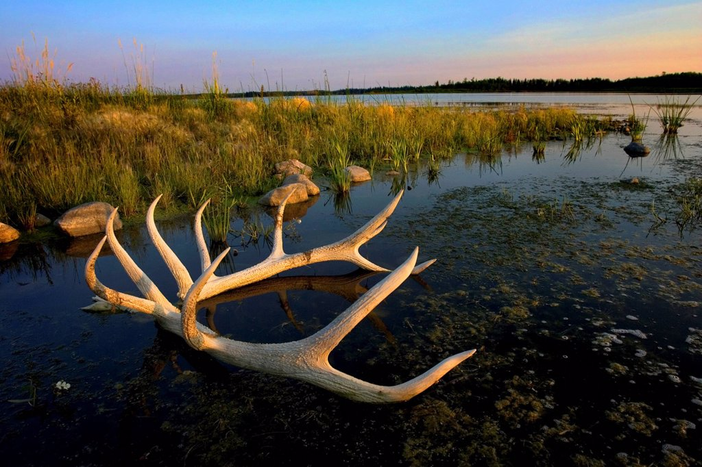an elk´s horns lay in the water at astotin lake in elk island national park, alberta, canada : Stock Photo