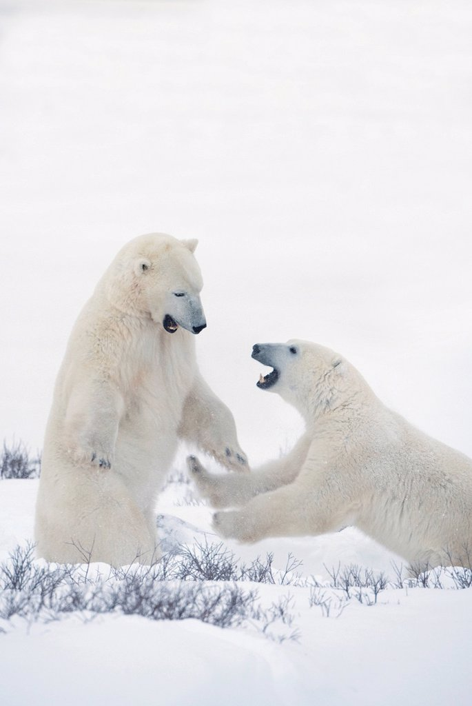 Stock Photo: 1889R-61899 two polar bears play fighting to sharpen their hunting skills as they wait for the ice to freeze over at hudson bay, churchill, manitoba, canada