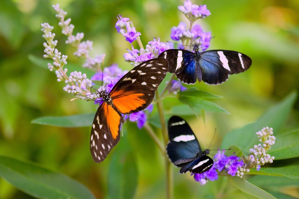 Stock Photo: 1889R-64548 three colorful butterflies on blossoms in spring, oregon, usa