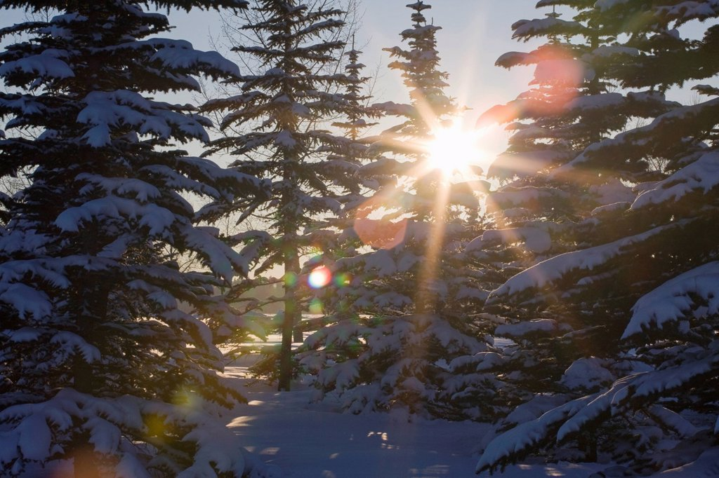 silhouette of snow covered evergreen trees with a sunburst, calgary, alberta, canada : Stock Photo