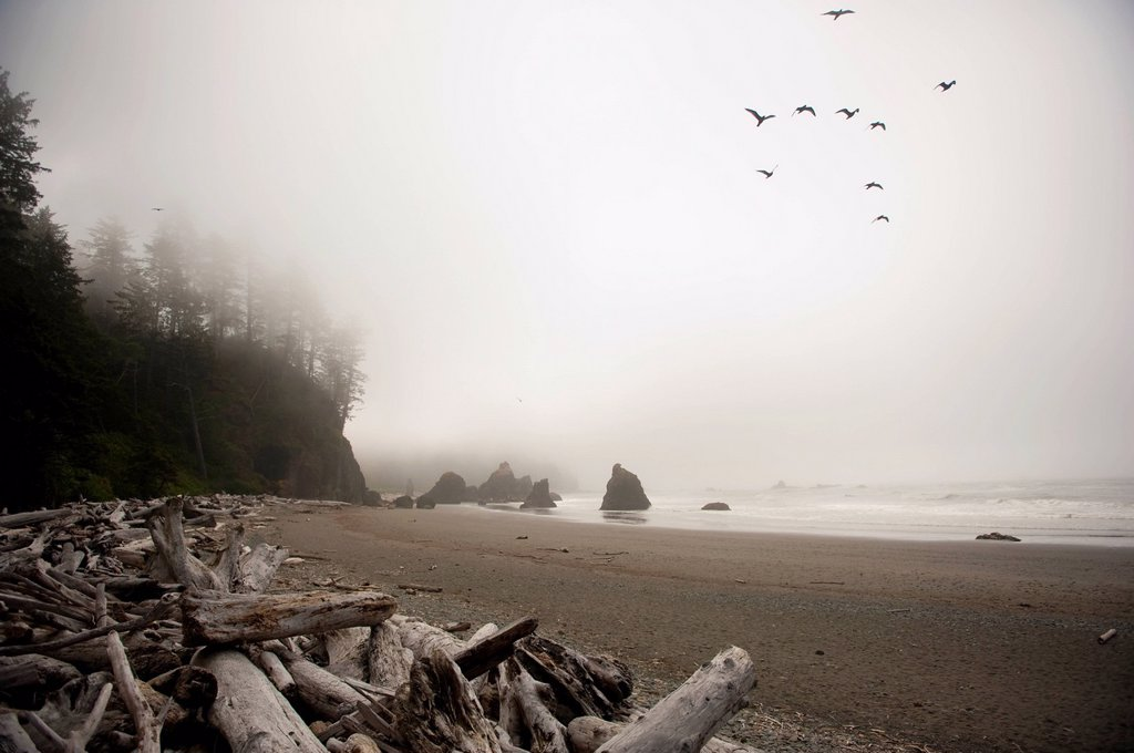 a flock of birds fly over a beach in the fog, abbey island washington united states of america : Stock Photo
