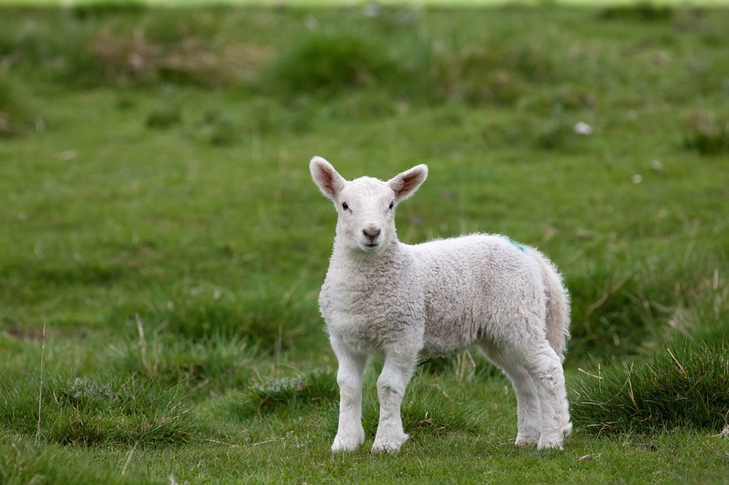 a lamb standing on the grass, northumberland england : Stock Photo