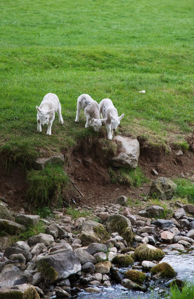 three lambs walking towards a stream, northumberland england : Stock Photo
